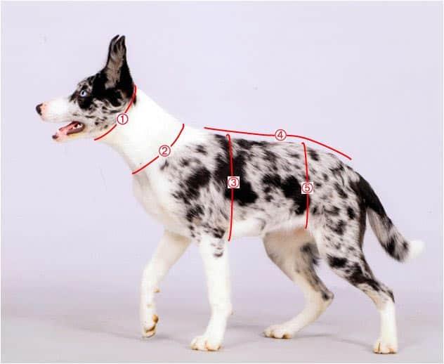 comment mesurer un collier pour chien
