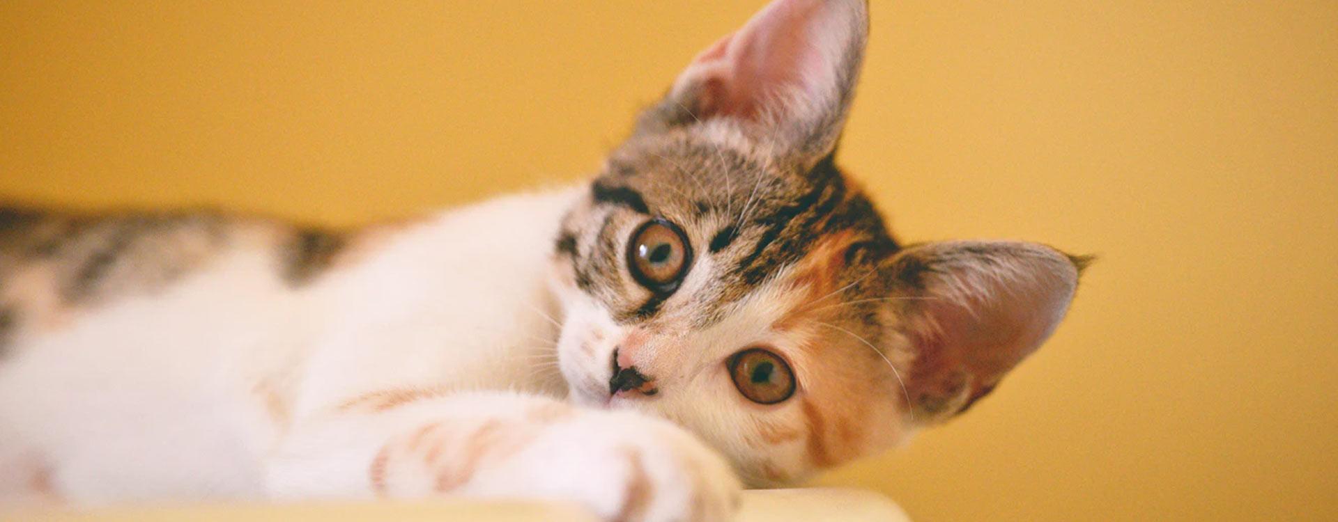Comment faire si mon chat ou mon chaton miaule ?