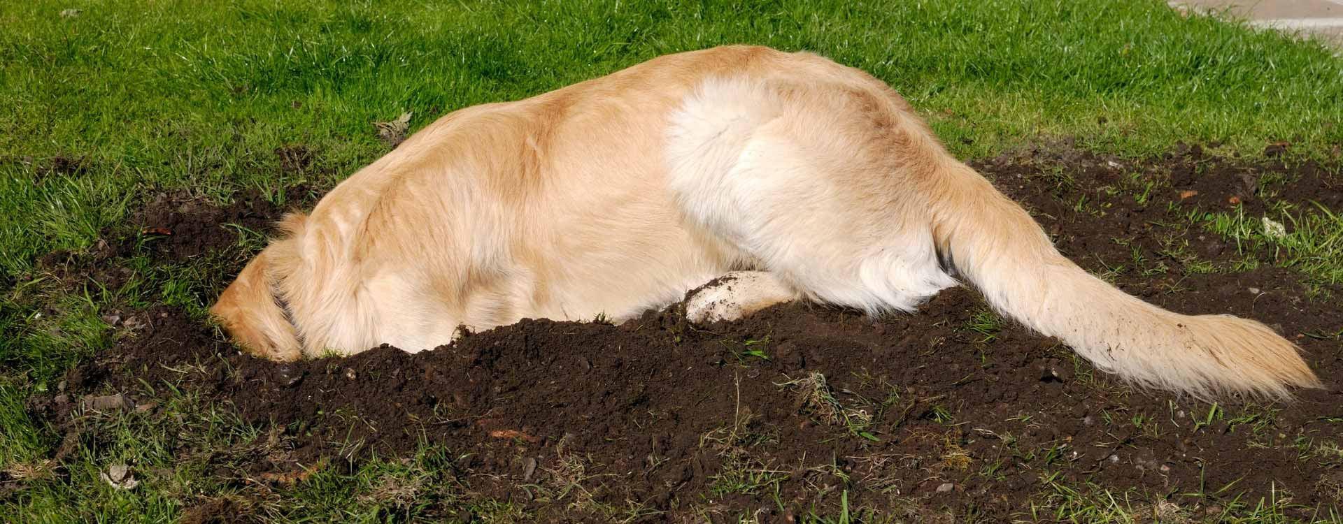 Mon chien creuse