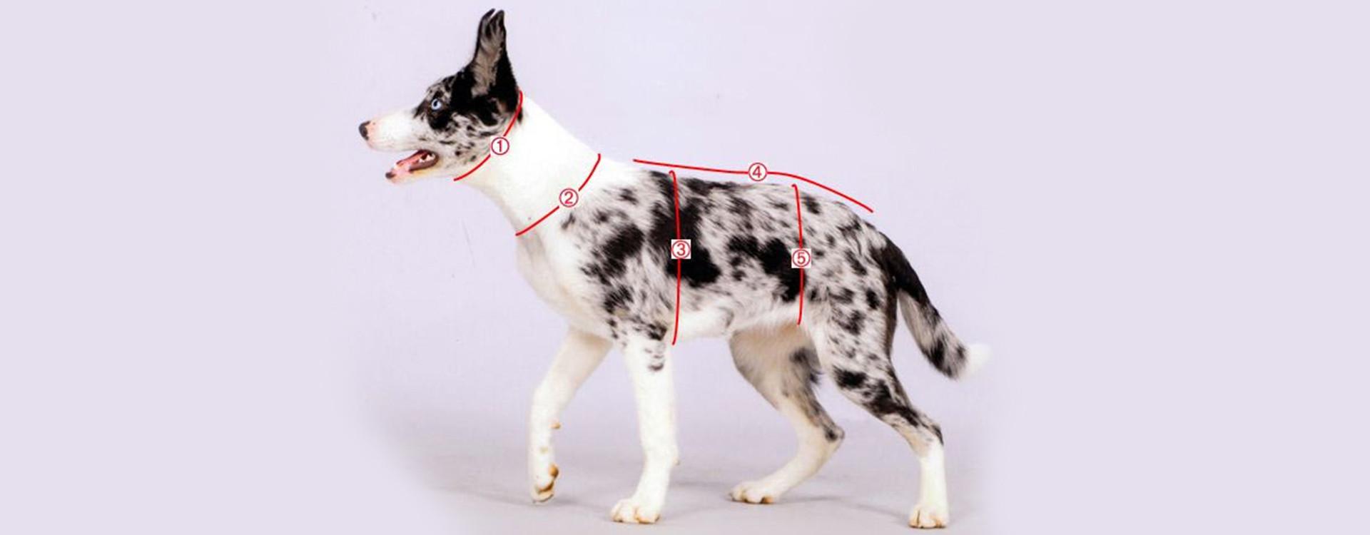 Découvrez comment mesurer un chien facilement