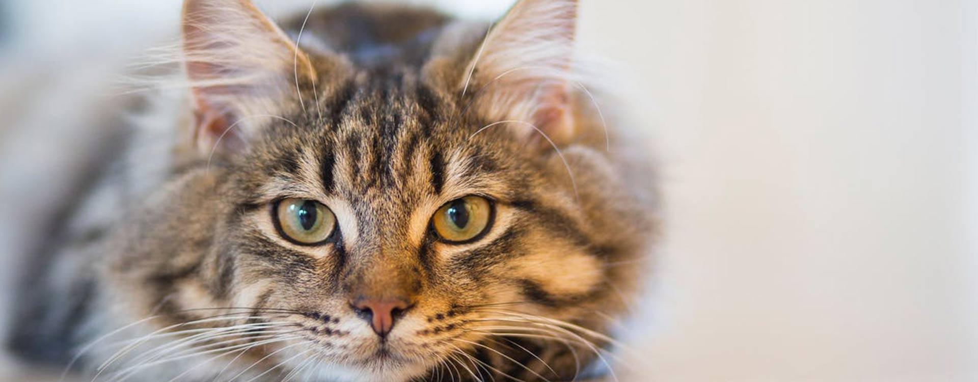 La stérilisation de la chatte, les questions fréquentes et idées reçues
