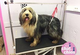 Hermès,  le Bearded Collie au toilettage à Caen